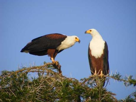 African Fish Eagles on the Kazinga Channel, Queen Elizabeth National Park. Uganda travel blog