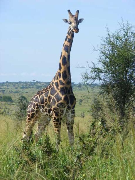 Rothschild's Giraffe Murchison Falls National Park. Uganda travel blog