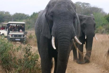 A herd of elephants got very close to our safari jeeps in Tembe Elephant Park, South Africa.