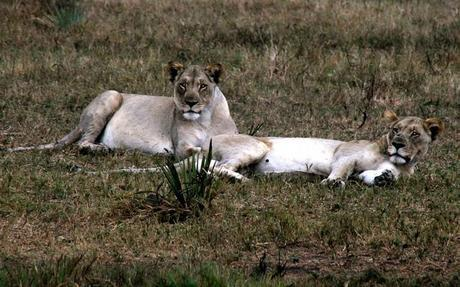 Lions in Tembe Elephant Park, South Africa.