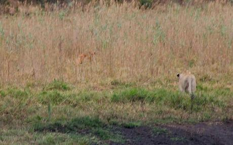 Lioness hunting in Tembe Elephant Park, South Africa.