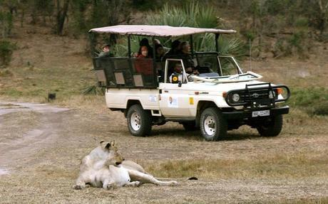 Lioness stalking a safari jeep in Tembe Elephant Park, South Africa.