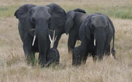 Mother and baby elephants in Tembe Elephant Park, South Africa