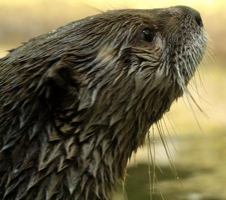 Near-death Otter Faces a Year of Rehabilitation