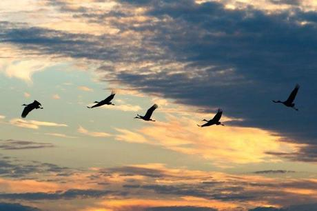 Sandhill-Cranes-Coming-to-the-Prairie-at-Sunset-3