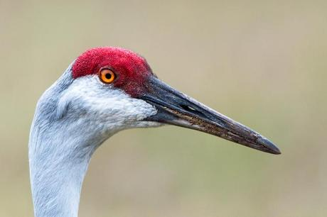 Sandhill-Crane-Headshot-2