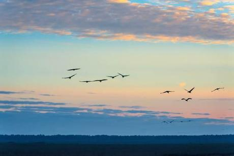 Sandhill-Cranes-Coming-to-the-Prairie-at-Sunset