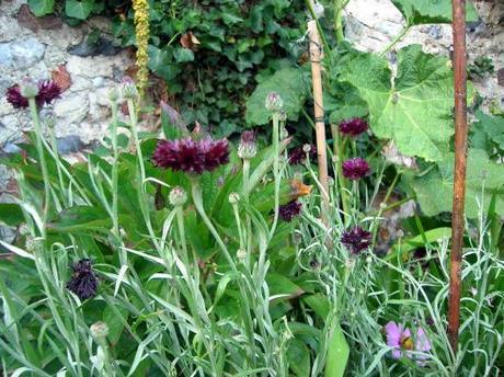 Cornflower - Double Black