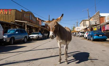 Oatman Arizona Burro
