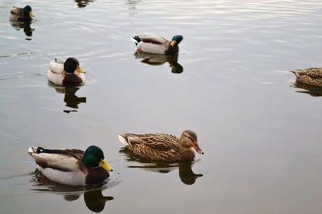 nature, wildlife, green lake park, seattle, ducks, photography