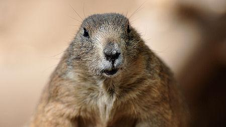 Where Did Groundhog Day Come From?