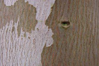Eucalyptus archeri Bark (06/01/2013, Kew Gardens, London)