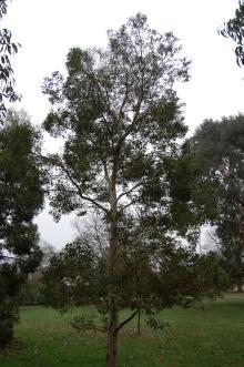 Eucalyptus archeri (06/01/2013, Kew Gardens, London)