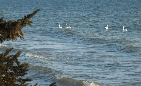Mute swans on Lake Ontario - Lynde Shores Conservation Area, Whitby, Ontario