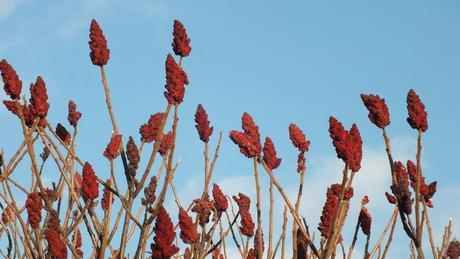 Staghorn Sumac - Lynde Shores Conservation Area, Whitby, Ontario