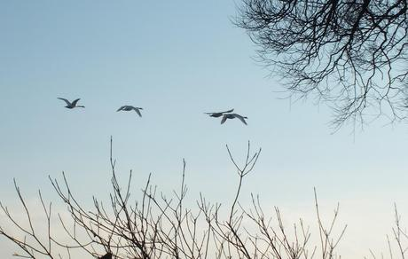Mute swans fly away - Lynde Shores Conservation Area, Whitby, Ontario