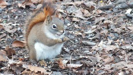 Red squirrel eats nut - Lynde Shores Conservation Area, Whitby, Ontario