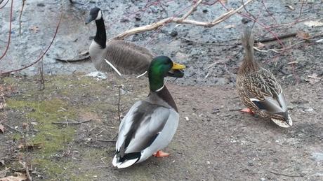 Mallard ducks, Canada Goose - Lynde Shores Conservation Area, Whitby, Ontario