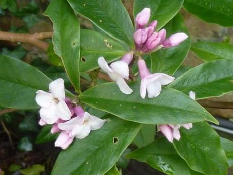 Daphne Jacqueline Postill coming into flower