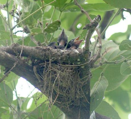 Black_Drongo_chicks