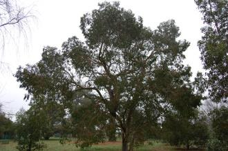 Eucalyptus stellulata (06/01/2013, Kew Gardens, London)