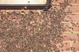 stinkbugs How do bug explosions happen?