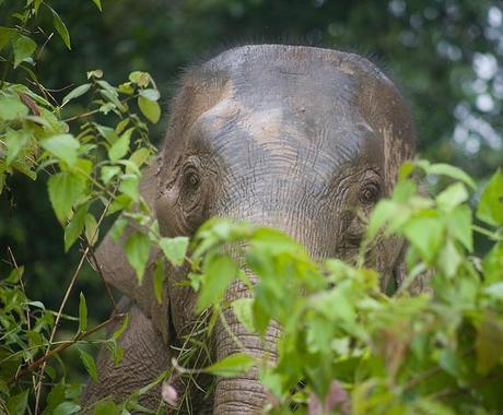 UPSET AT PYGMY ELEPHANT POISONING