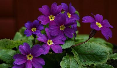 Old Fashioned Primroses