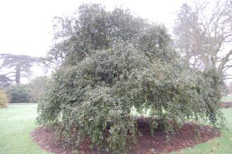 Ilex aquifolium 'Pendula' (06/01/2013, Kew Gardens, London)