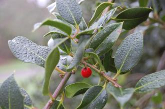 Ilex aquifolium 'Pendula' Leaf and Berry (06/01/2013, Kew Gardens, London)