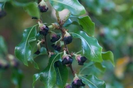 Pittosporum tennuifolium flowers