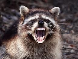 raccoon1 What is Rabies?