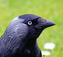 The social brain hypothesis and crows