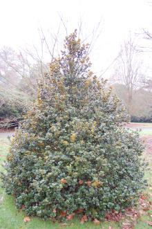 Quercus semecarpifolia (06/01/2013, Kew Gardens, London)