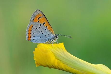 Cuivré des marais, Lycaena dispar, Large Copper