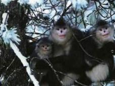 Ancient Midwifery Practiced Chinese Snub Nosed Monkeys Well
