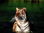 Joint Effort Between India Nepal Begin Royal Bengal Tiger Census