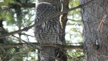 Great Grey Owl looks left - Ottawa - Ontario - Canada - Frame To Frame - Bob & Jean picture