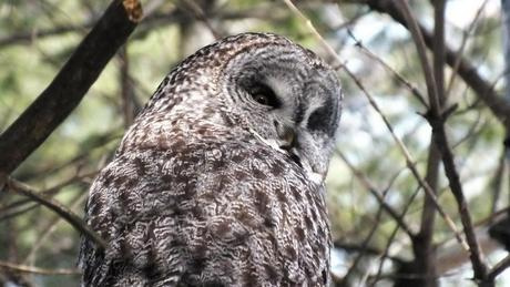 Great Grey Owl - looks back over right shoulder in pine tree - Ottawa - Ontario - Canada - Frame To Frame - Bob & Jean picture