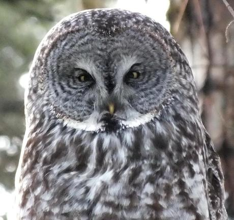 Great Grey Owl - gives me a look - Ottawa - Ontario - Canada - Frame To Frame - Bob & Jean picture