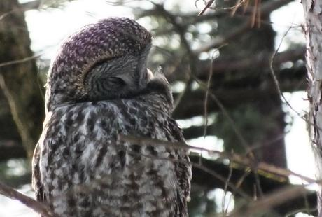 grey owl essays Linda relates some natural history of this large owl, and offers a few writing   and creativity-- and how she applies them to her life these gray winter days.
