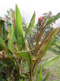 Banana plant with its upright flower from Dalapchand