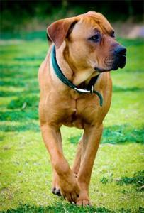 Preventing liver disease in dogs