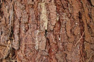 Pinus radiata Bark (09/02/2013, Kew Gardens, London)