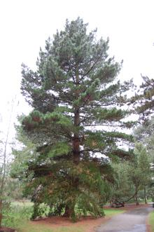Pinus radiata (09/02/2013, Kew Gardens, London)