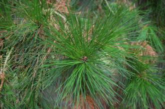 Pinus radiata Leaf (09/02/2013, Kew Gardens, London)