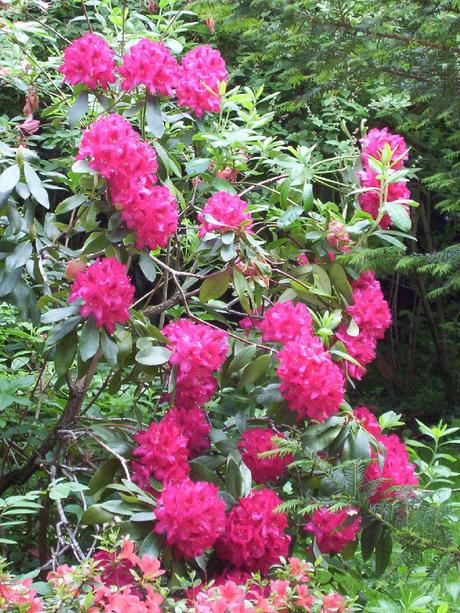 rhododenron in Claude Monet's Giverny house garden