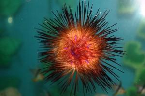 urchin2