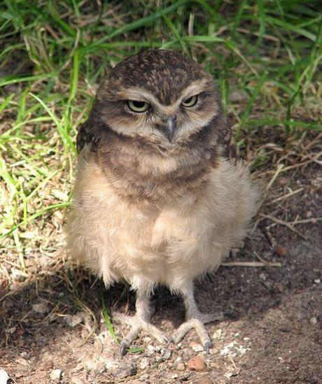 immature burrowing owl