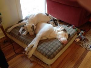 Blind dog and deaf dog are best friends